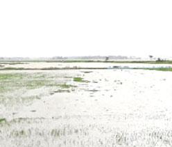 বর্ষণ ও জোয়ারের পানিতে বরিশাল পূর্বাঞ্চলে আমন ধানের ক্ষতি
